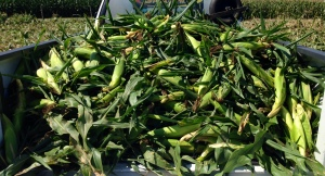 Fresh corn for food pantries.